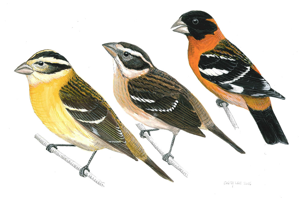 Black-headed Grosbeaks