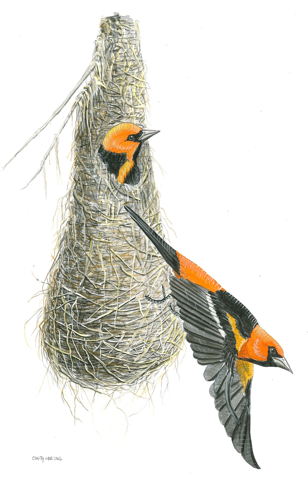 Altamira Orioles and nest