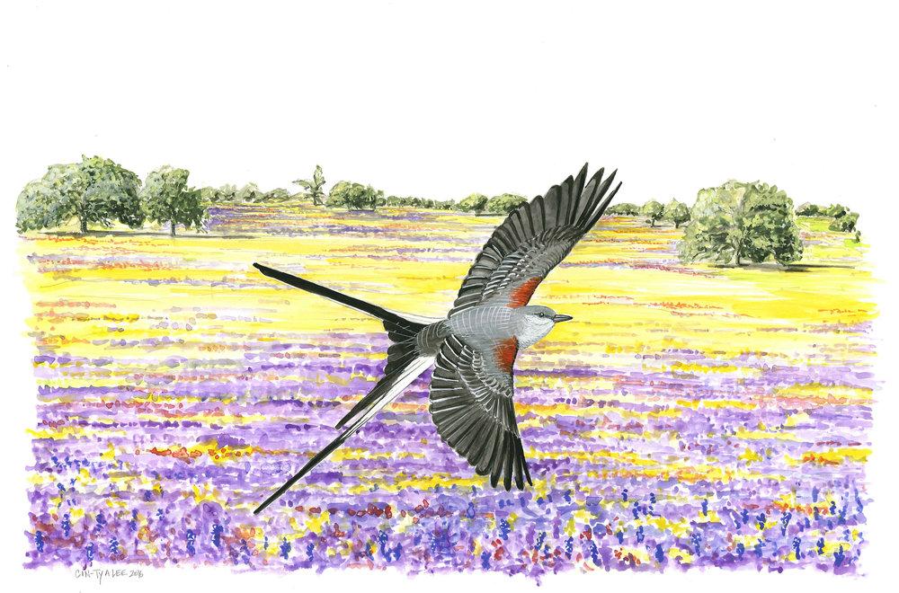 Scissor-tailed Flycatcher in Texas