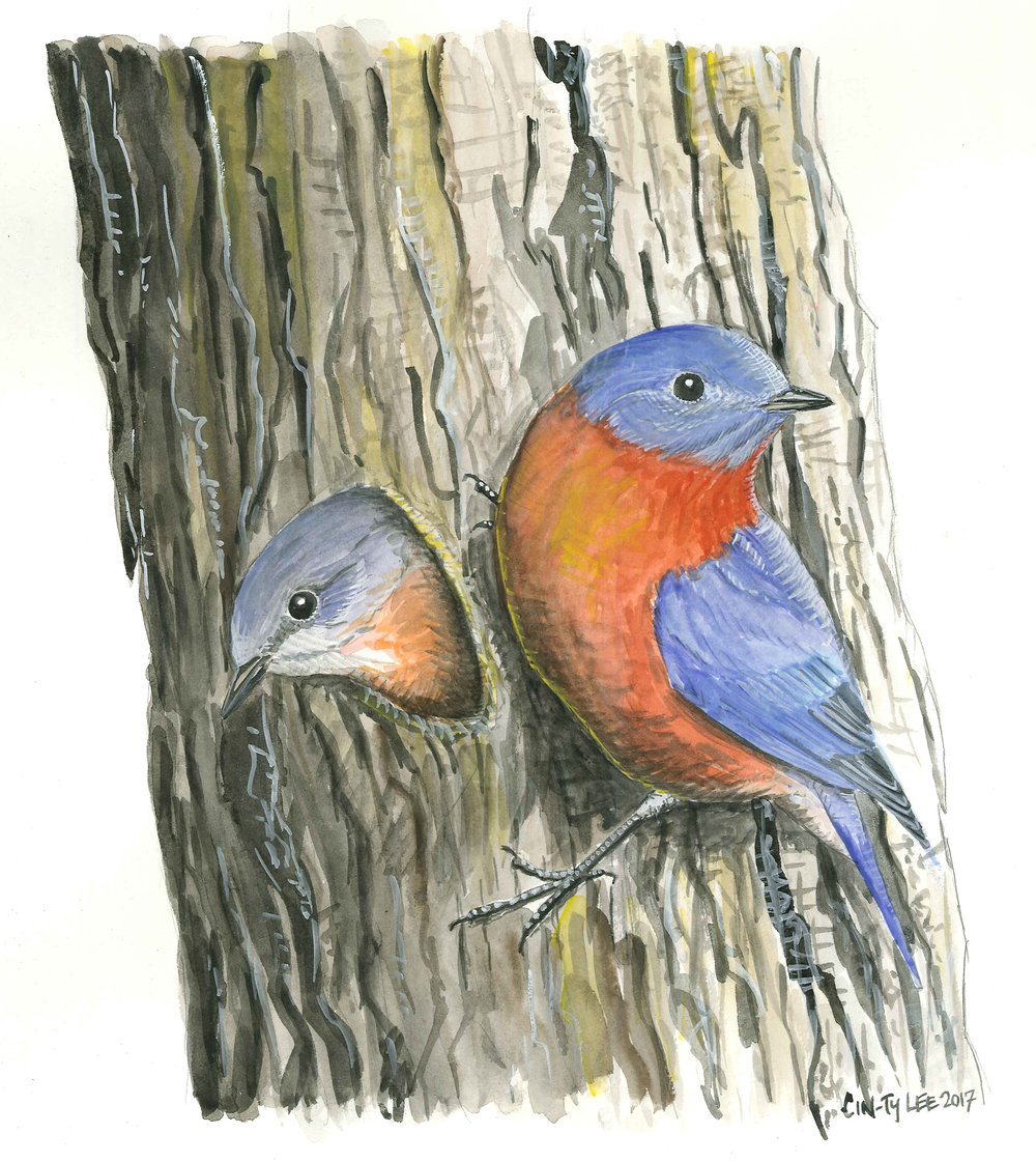 EasternBluebird-twoTree.jpg