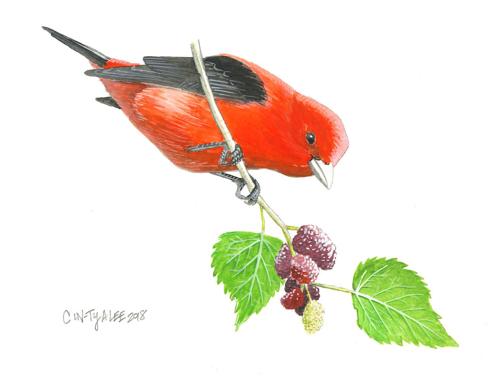 Scarlet Tanager on mulberry
