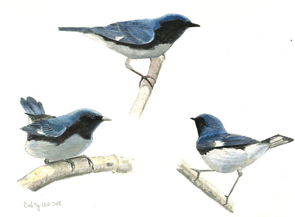 Black-throated Blue Warbler study