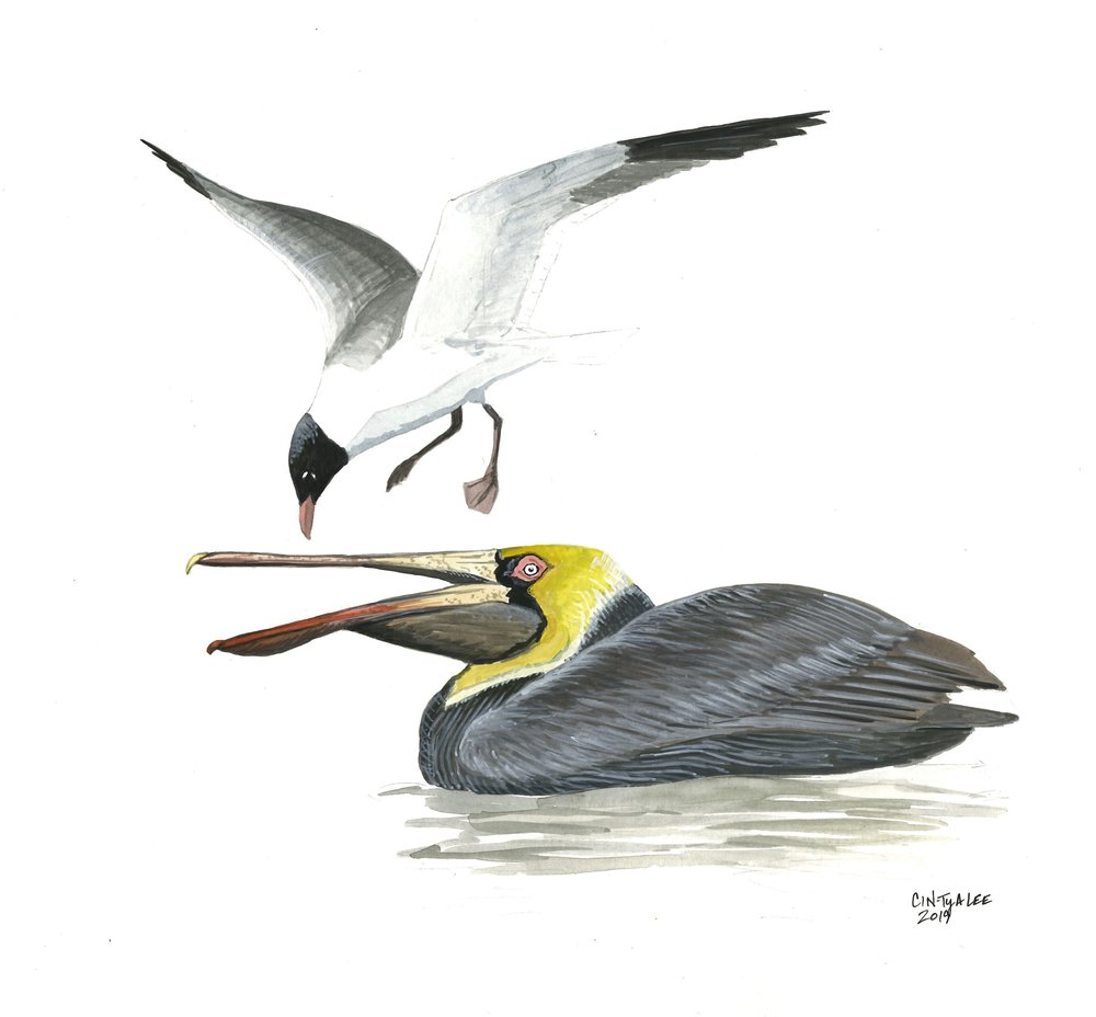 Laughing Gull and Brown Pelican