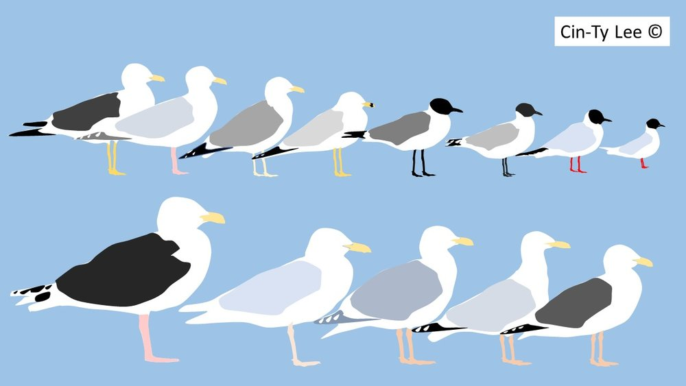 Gulls ordered by size