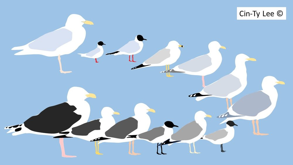 Gulls ordered by mantle darkness
