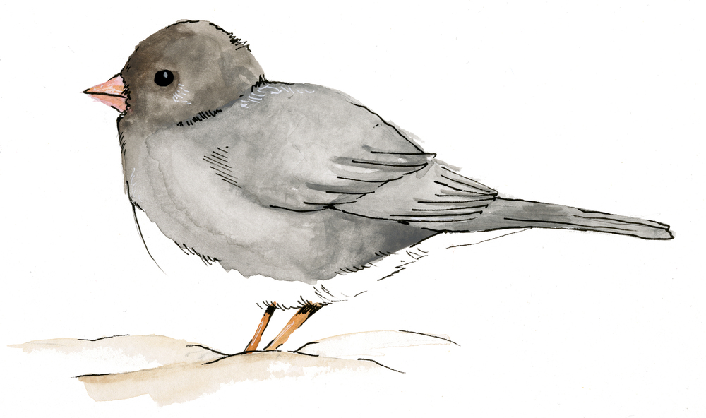 DarkEyedJunco.jpg