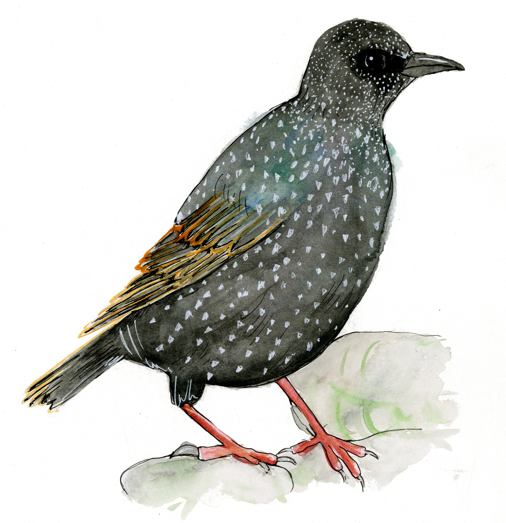 EuropeanStarling.jpg