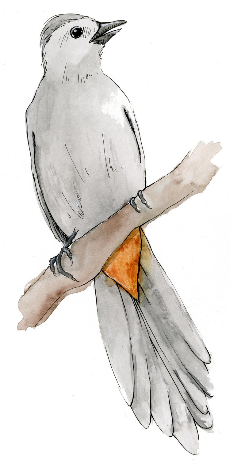 GreyCatbird.jpg