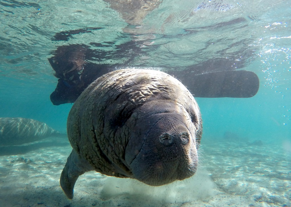 Manatee and Lala.  Image by Manuel Menendez
