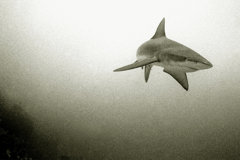 Galapagos Shark - Galapagos Islands.  Image by: Wolfgang Leander