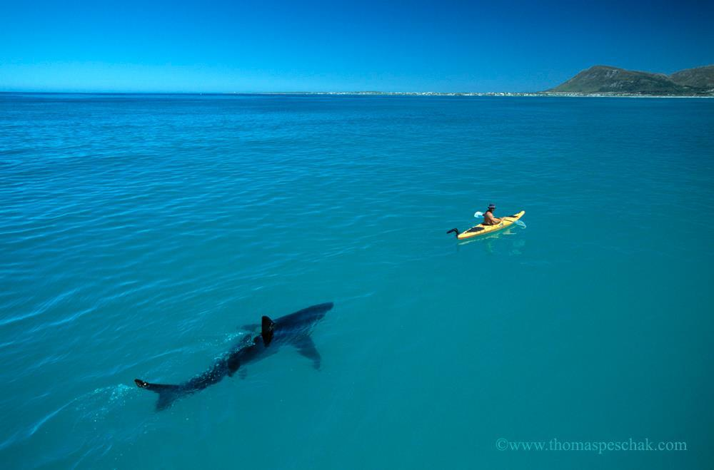 The now famous Great White shark and kayak photo by Thomas Peschak