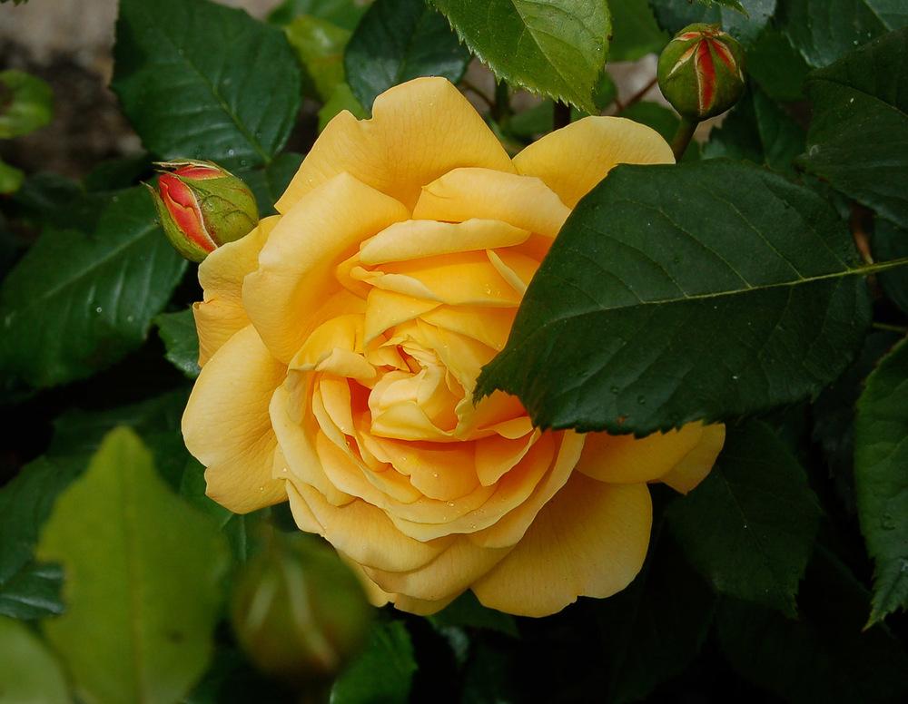 rose-0025.jpg