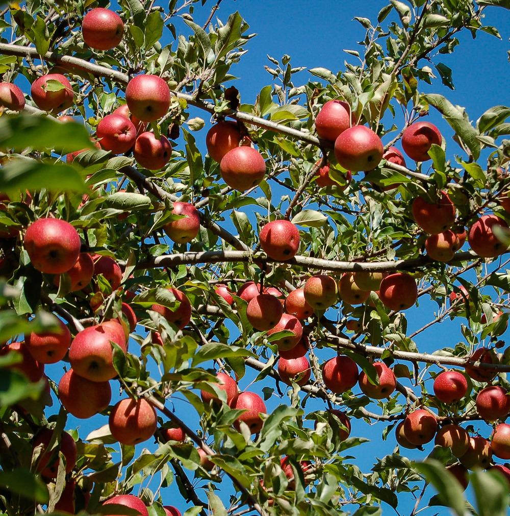 apples-0075.jpg