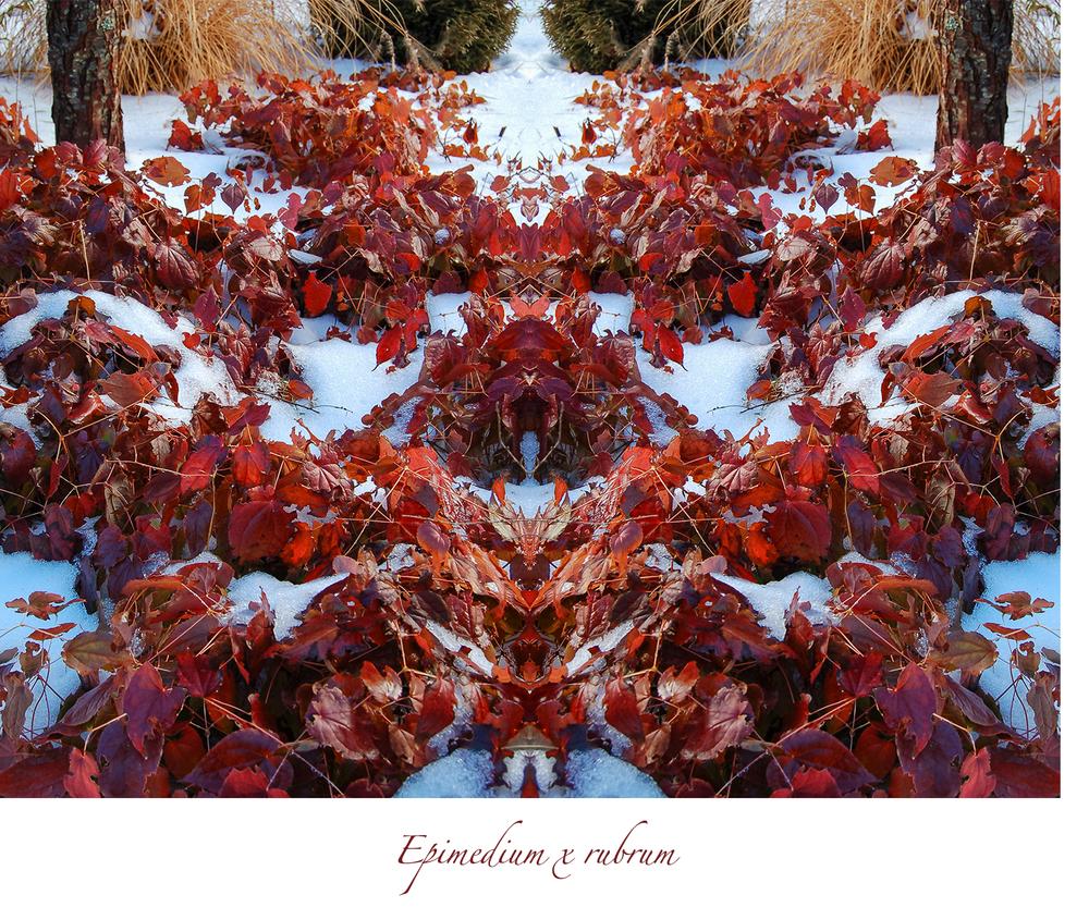 epimedium-composite.jpg