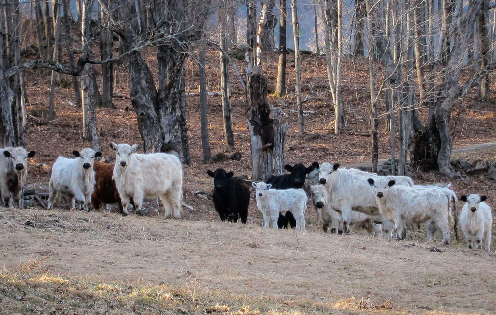 cattle-0293.jpg