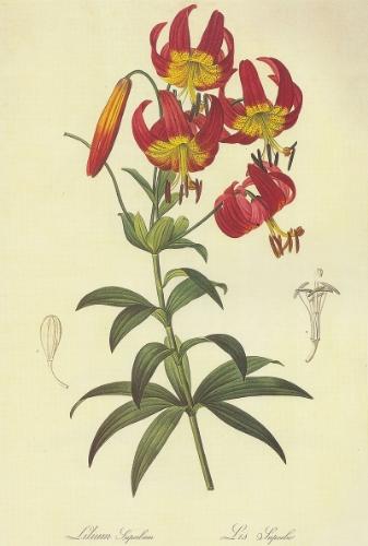 Lilium superbum (Turk's Cap Lily)by Pierre Joseph Redoute