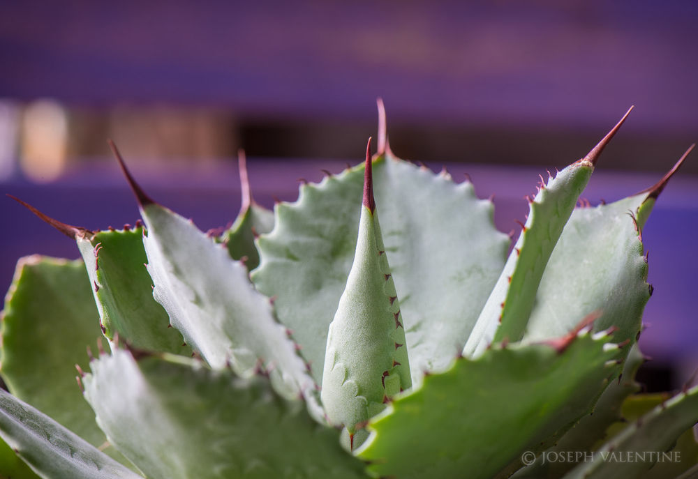 Agave parryi ssp. truncata