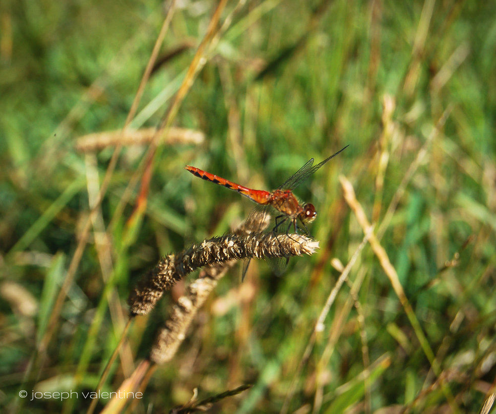 A Cardinal Meadowhawk Dragonfly enjoys the longer grass at Juniper Hill