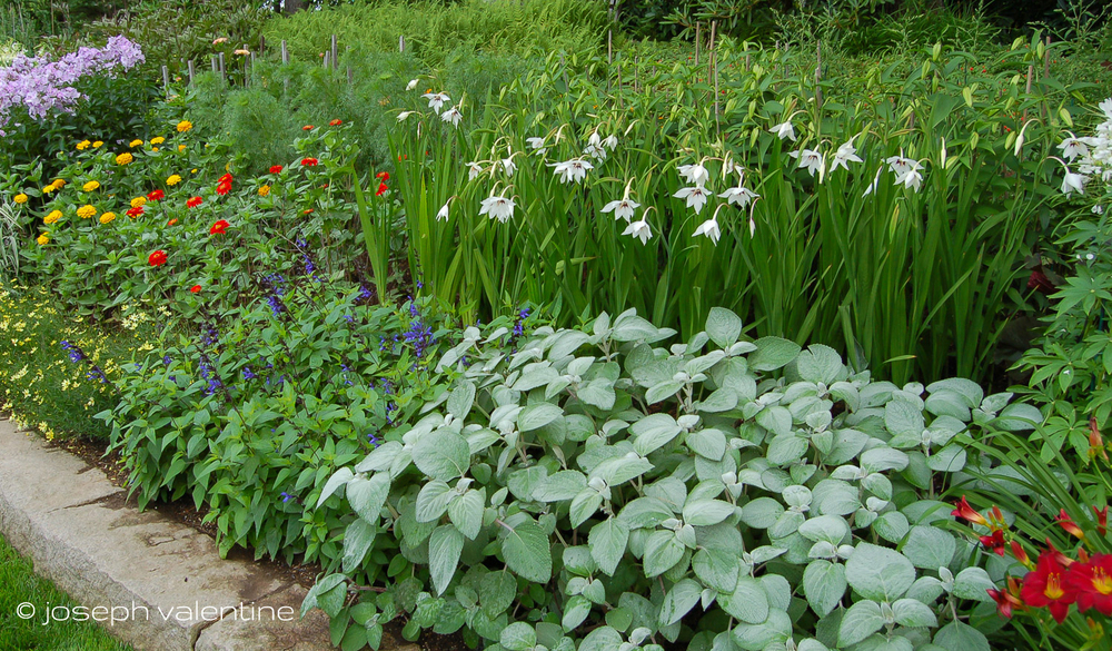 These Acidantheras, with their bright white, nodding flowers fit beautifully into the border of this Maine garden.