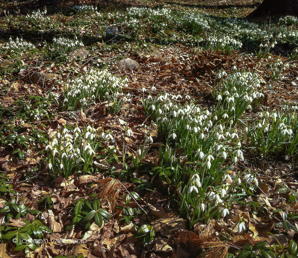 Snowdrops cover a hillside in the New Hampshire garden of Maude Odgers.