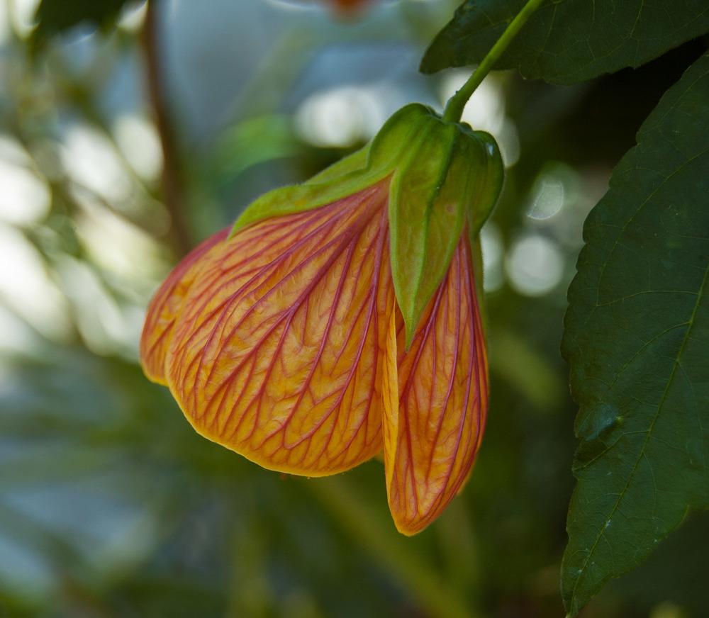 Abutilon 'pictum'