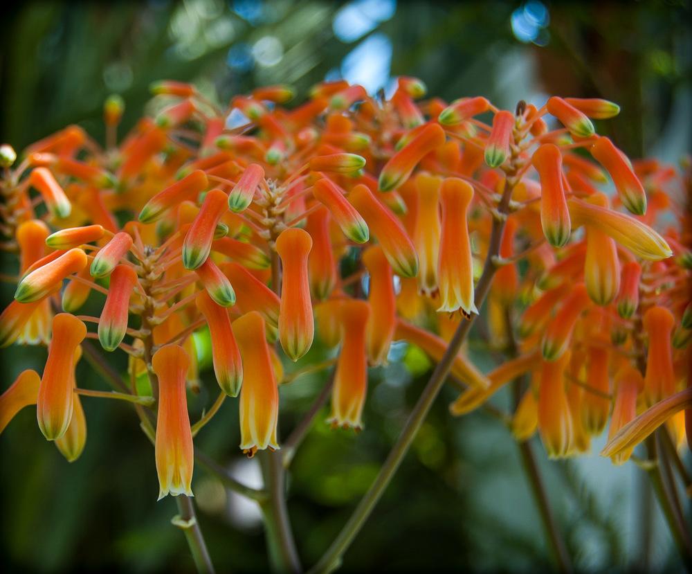 Flowers of Aloe saponaria