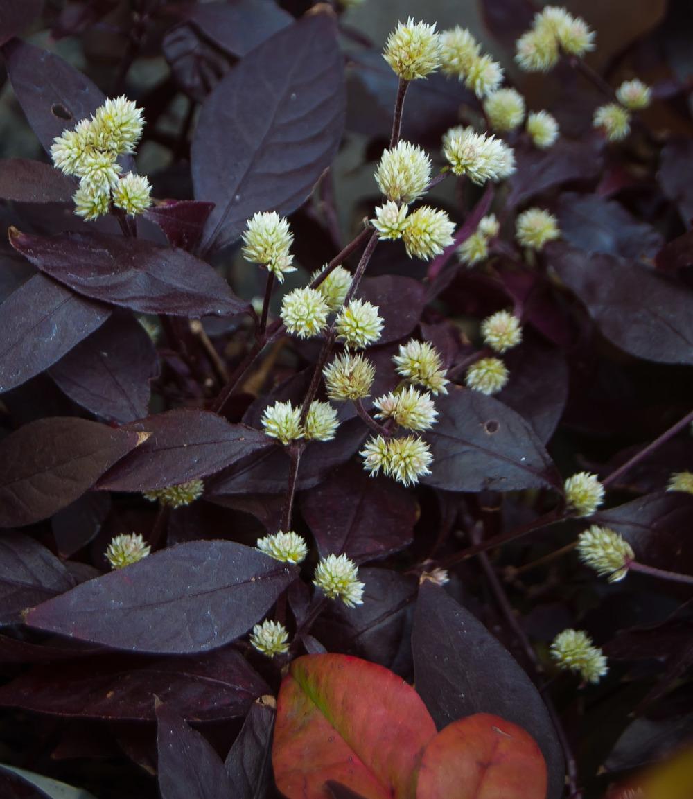 Alternanthera dentata 'Rubiginosa' (Calico Plant)
