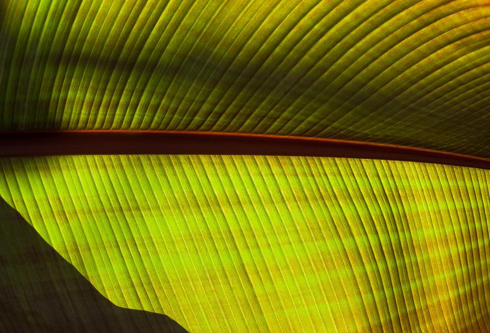 Red Banana Tree Leaf (Musa sumatrana 'Rojo')