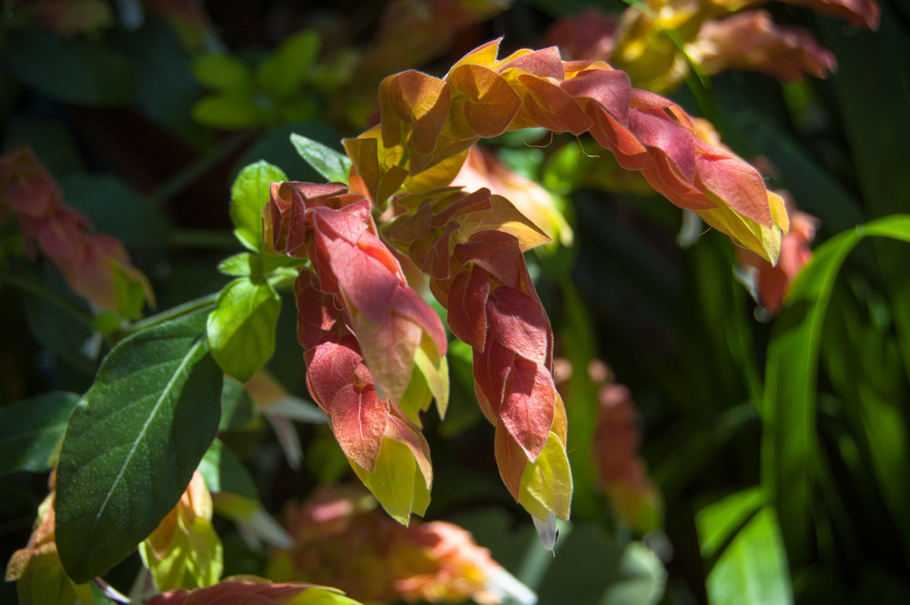 Justicia brandegeeana (Shrimp Plant)