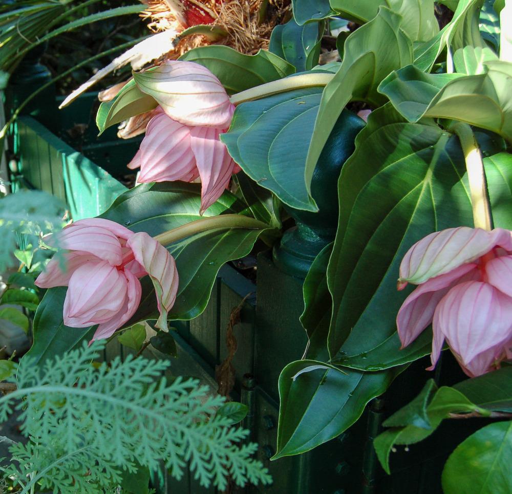 Medinilla magnifica (Rose Grape)