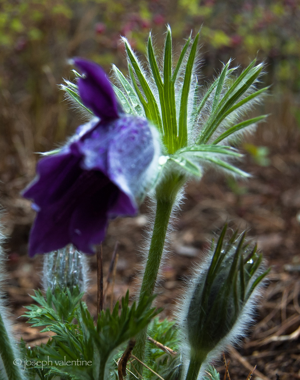 Trichomes resembling silky soft hair cover almost all parts of the early spring blooming plant,  Pulsatilla vulgaris  (the Pasque Flower) in order to keep the plant better insulated during a time of the year when temperatures can fluctuate dramatically.