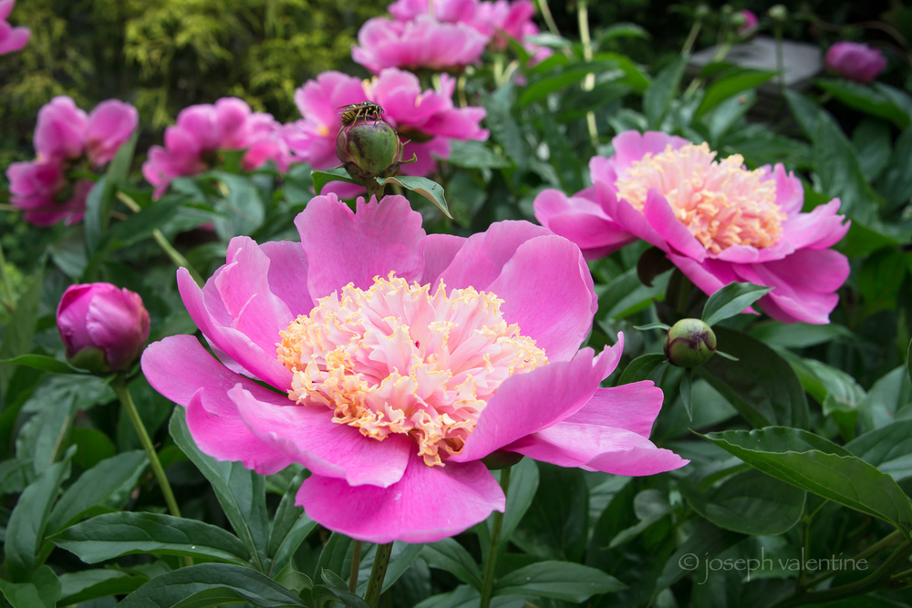 Paeonia 'Doreen' is in full bloom along a fence at Juniper Hill.