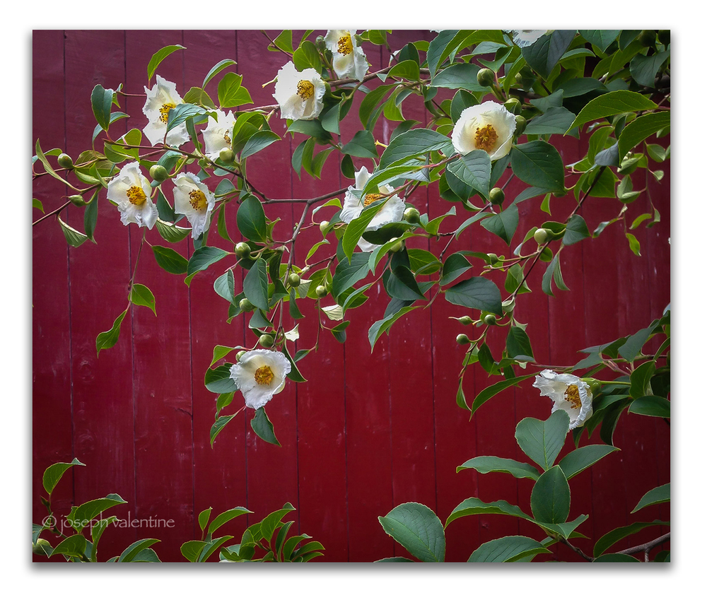 Stewartia pseudocamelia against red barn at Juniper Hill.