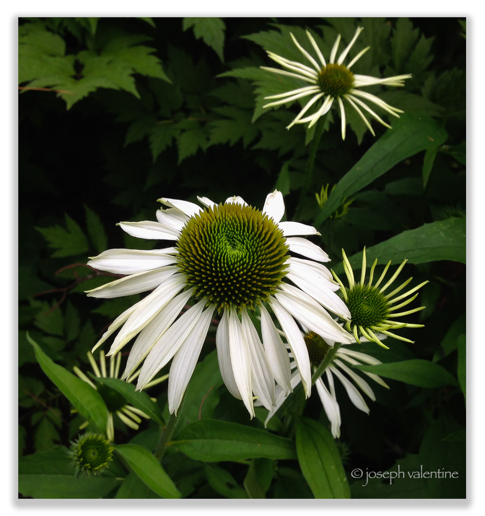 Never too bold or garish, the sophisticated Echinacea purpurea 'White Swan' is a great choice for lighting up a corner.