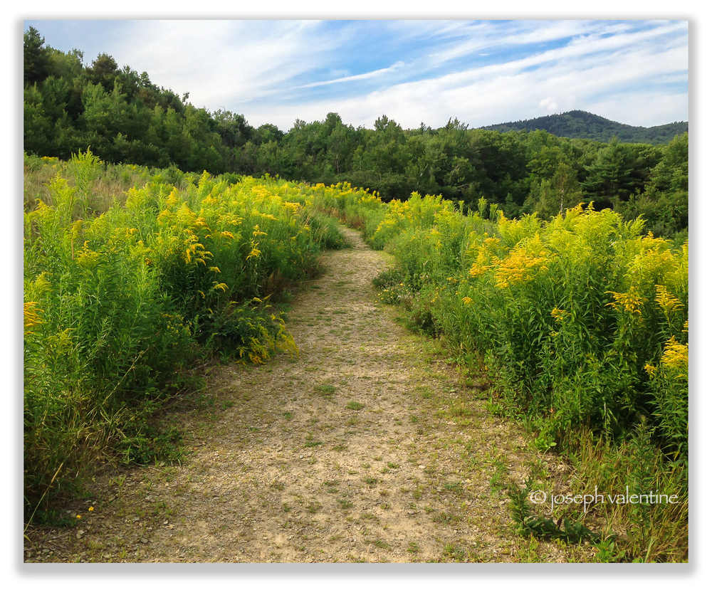 Native Goldenrod is in bloom right now in our area and this stretch lines a trail leading to Crotched Mountain in Greenfield, New Hampshire.