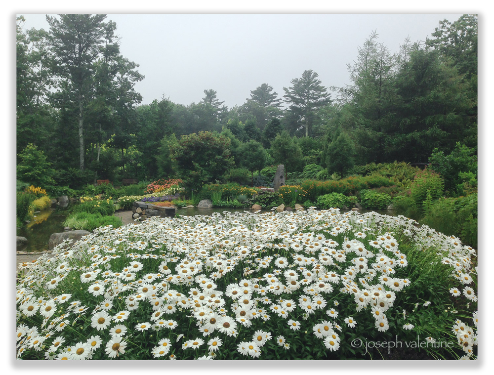 A sea of daisies on a misty morning at Coastal Maine Botanical Gardens.