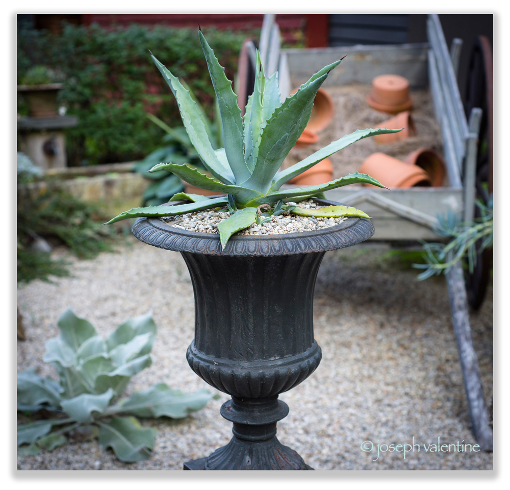 This is not a container option that we have tried before, but we sure like the look of this blue Agave potted up in a more formal urn.