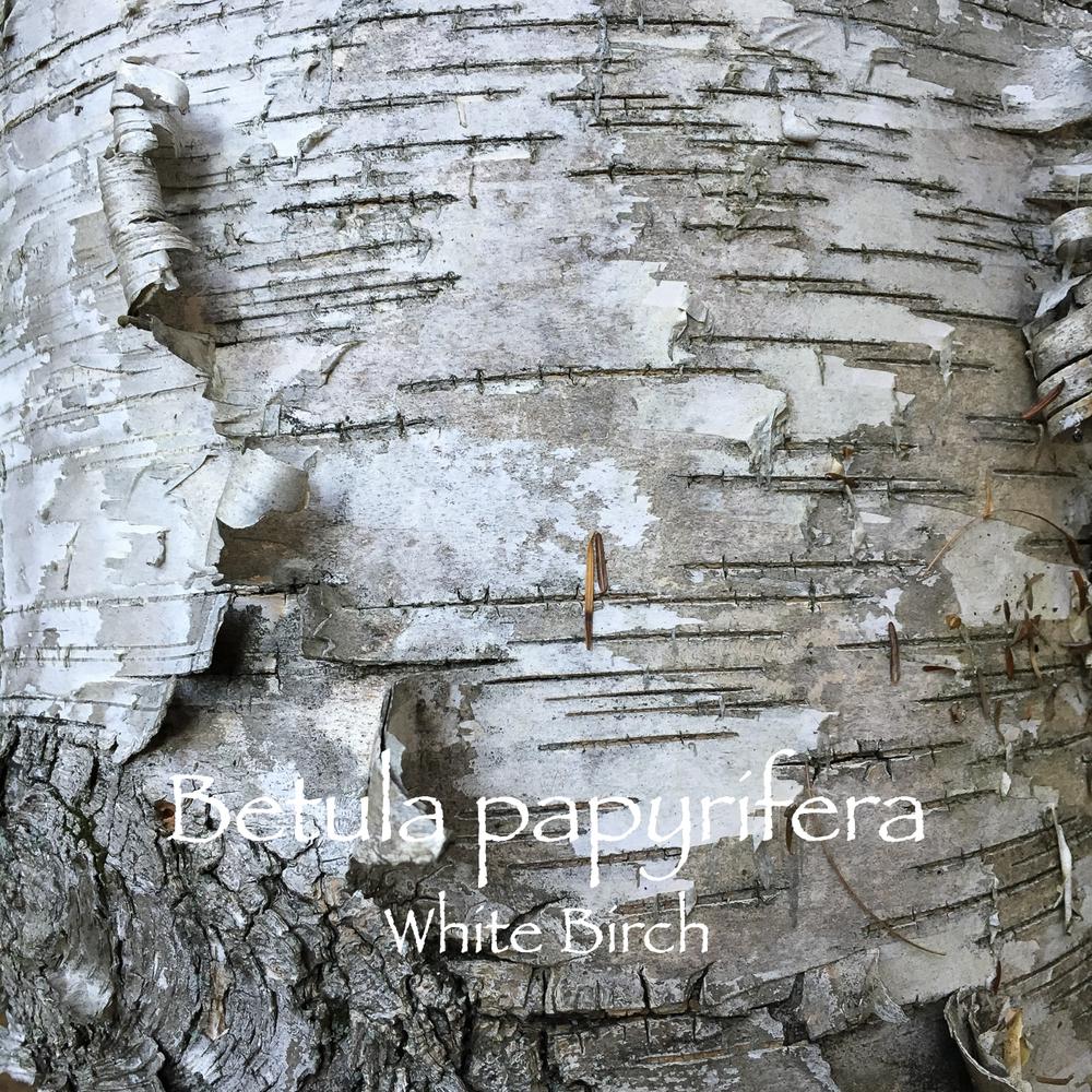 betula white.jpg