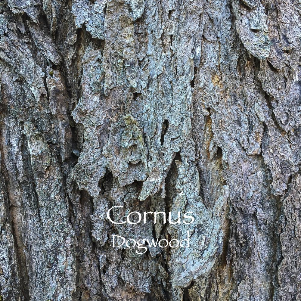 cornus.jpg