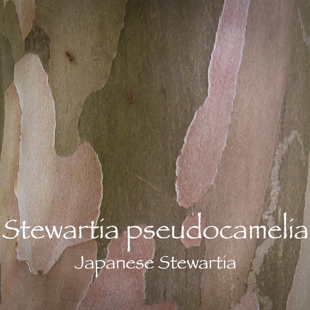 stewartia-0910.jpg