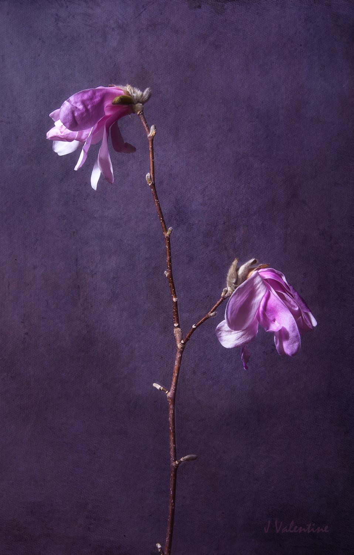 magnolia2- copy.jpg
