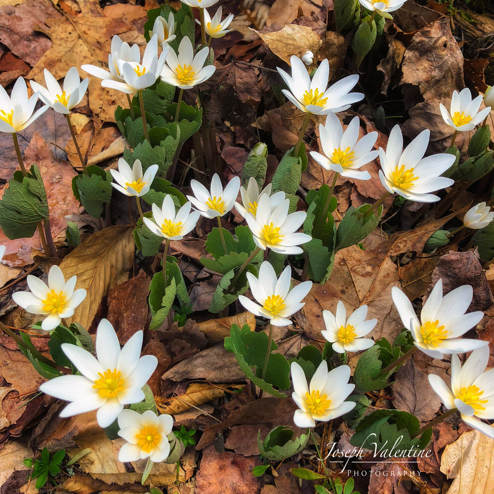 sanguinaria- copy.jpg