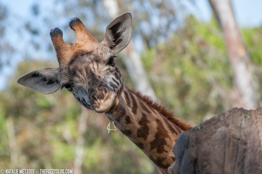 Young giraffe  San Diego Zoo  San Diego, California