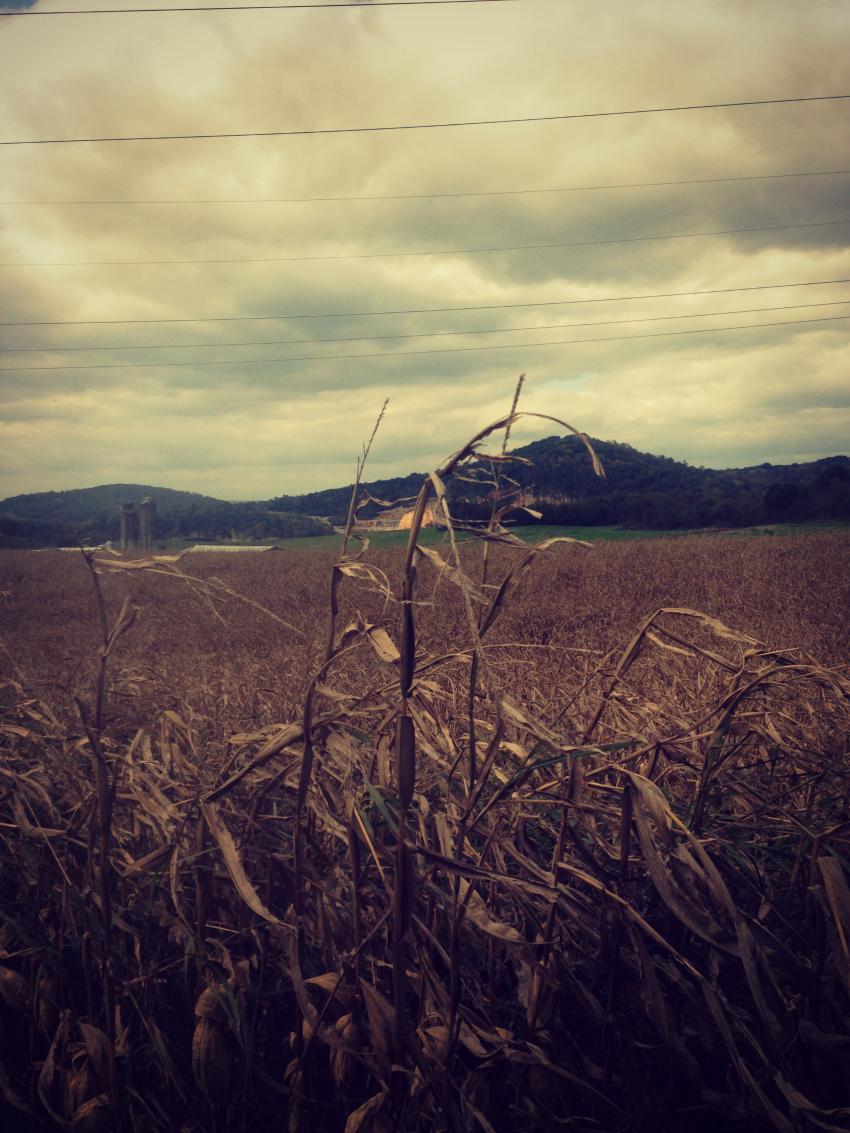 cornstalk