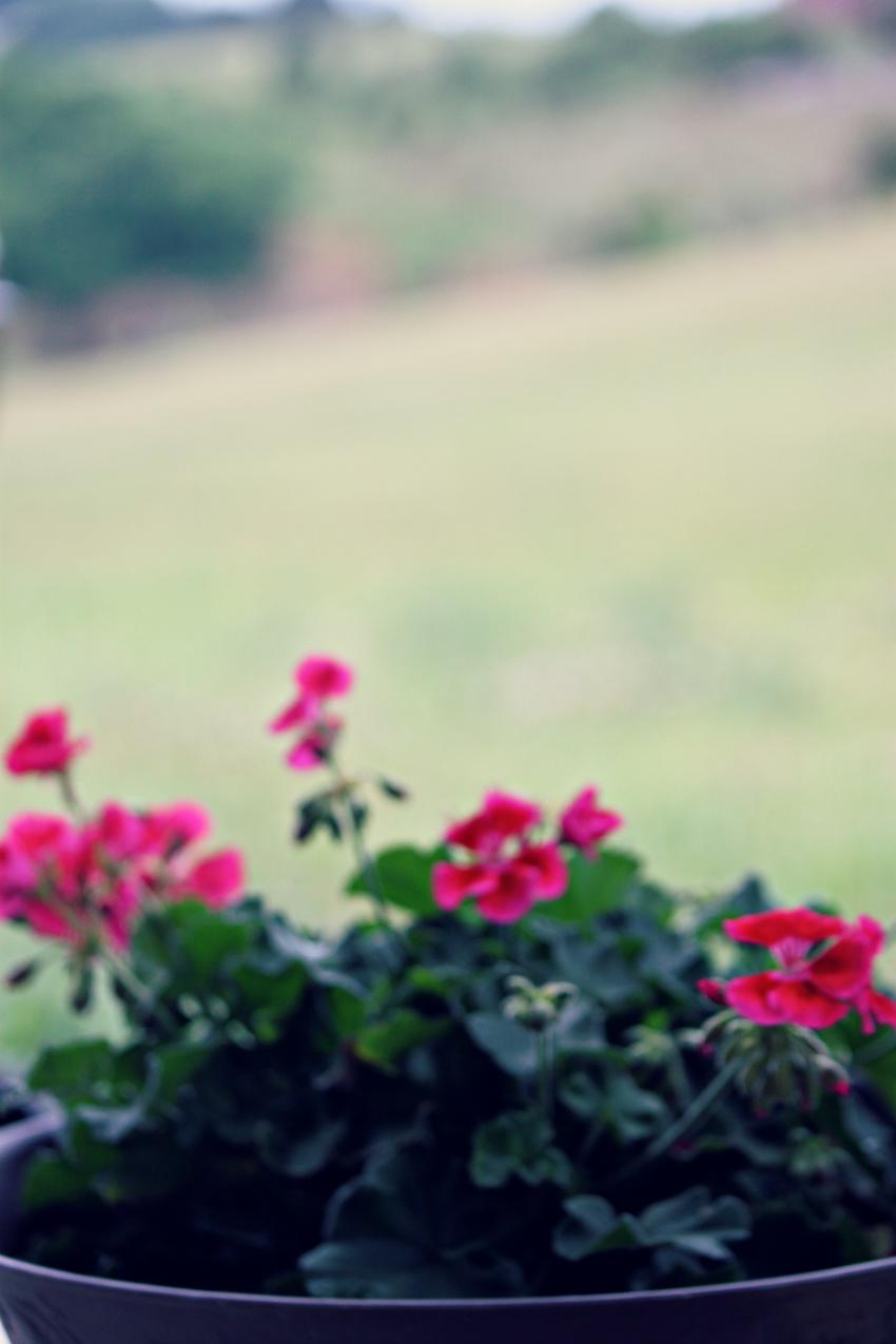 pink geranium.png