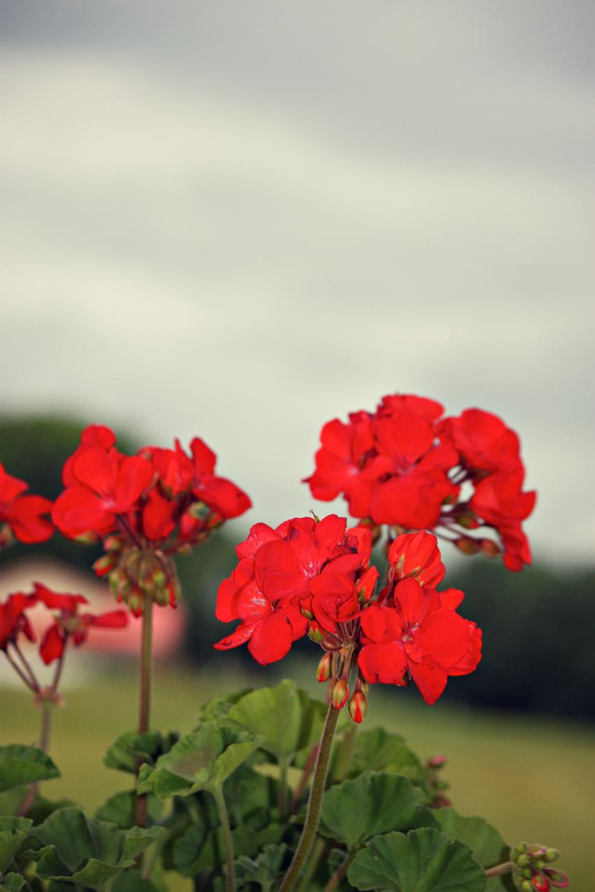 red geranium.png