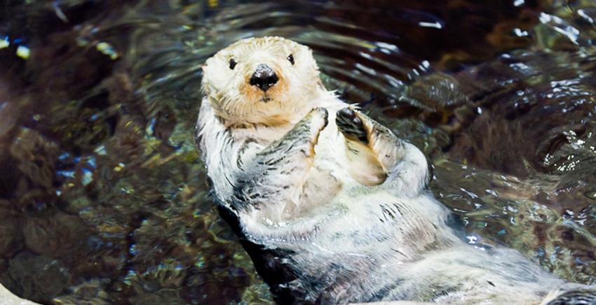sea_otter_5