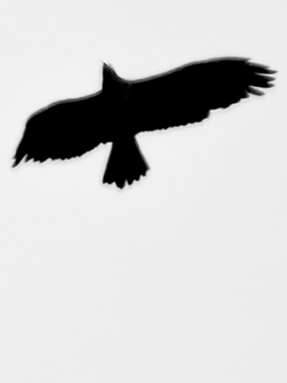 «L'Aigle royal est le plus grand prédateur ayant survécu dans notre pays. Il est là pour nous rappeler le temps où la nature était intacte, avec ses Loups et ses Ours. Son inaccessibilité dans la montagne, son royaume, l'a partiellement protégé des assauts de la civilisation et des persécutions humaines», description recueillie sur le site www.vogelwarte.ch.