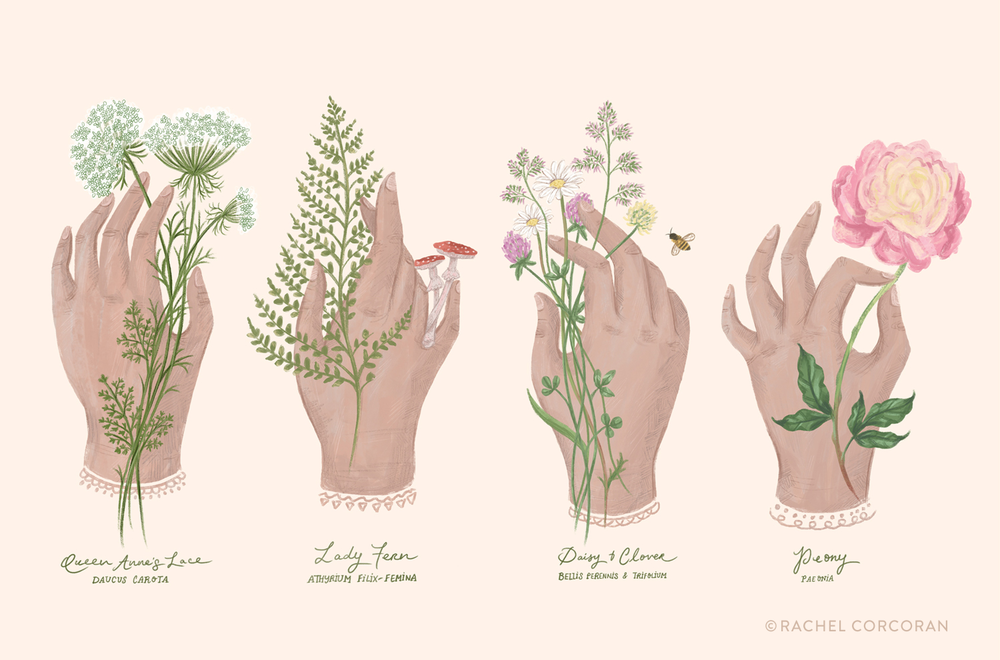 Botanical illustration by Rachel Corcoran