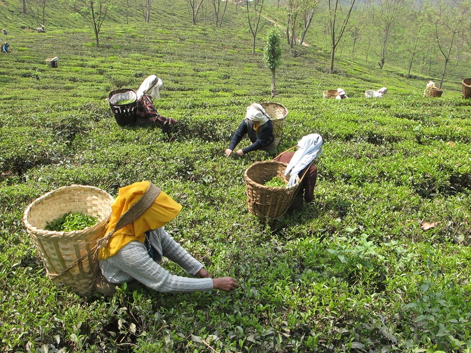tea fields.jpg
